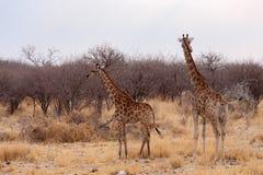 Camelopardalis Giraffa приближают к waterhole Стоковое Изображение