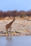 Camelopardalis Giraffa приближают к waterhole Стоковая Фотография