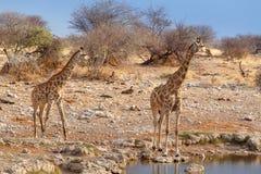 Camelopardalis Giraffa приближают к waterhole Стоковые Изображения RF