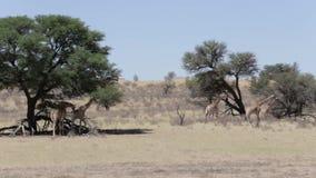 Camelopardalis majestuosos del Giraffa almacen de metraje de vídeo