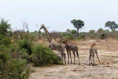 Camelopardalis no parque nacional, Hwankee do Giraffa fotografia de stock royalty free