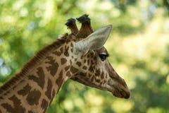 Camelopardalis van girafgiraffa, Afrikaan gelijk-toed ungulate zoogdier, het langst van alle extant land-levende diersoort royalty-vrije stock afbeeldingen