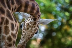 Camelopardalis van girafgiraffa, Afrikaan gelijk-toed ungulate zoogdier, het langst van alle extant land-levende diersoort stock foto