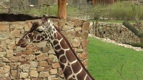 Camelopardalisreticulata met een netvormig patroon die van girafgiraffa, ook als de Somalische giraf wordt bekend stock footage