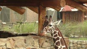 Camelopardalisreticulata met een netvormig patroon die van girafgiraffa, ook als de Somalische giraf wordt bekend stock videobeelden