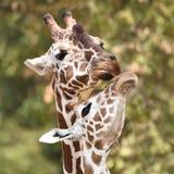 Camelopardalisreticulata met een netvormig patroon van girafgiraffa stock foto's