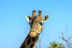 Camelopardalisreticulata met een netvormig patroon van girafgiraffa Royalty-vrije Stock Afbeelding