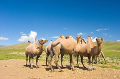 Camelos Foto de Stock Royalty Free