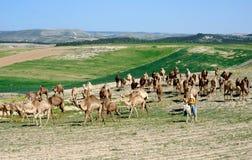 camelos Foto de Stock