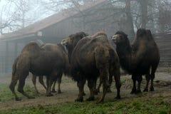 camelos Fotos de Stock
