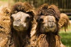 Camelos africanos imagens de stock royalty free
