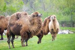 Camelos bactrianos em um jardim zoológico Fotografia de Stock Royalty Free