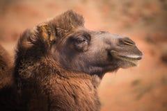 Camelos bactrianos principais Fotografia de Stock Royalty Free
