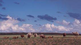 Camelos bonitos Fotografia de Stock