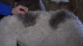 Camelos bonitos pequenos video estoque