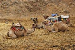 Camelos carregados Foto de Stock Royalty Free