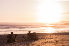 Camelos com um pôr do sol em Marrocos Imagens de Stock