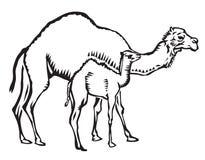 Camelos da matriz e da criança Fotos de Stock Royalty Free