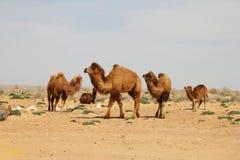Camelos do deserto de Kyzylkum Foto de Stock Royalty Free
