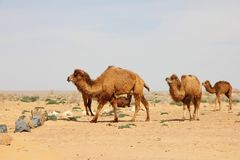 Camelos do deserto de Kyzylkum Fotografia de Stock Royalty Free