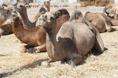 Camelos do Dromedary em um mercado africano imagens de stock