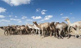 Camelos do Dromedary em um mercado africano foto de stock