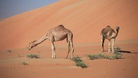 Camelos do Oriente Médio em um deserto, UAE video estoque