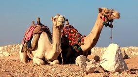 Camelos egípcios vídeos de arquivo