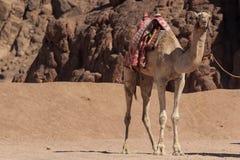 Camelos em Arábia, animais selvagens Foto de Stock