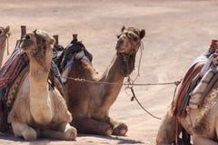 Camelos em Arábia, animais selvagens Fotos de Stock Royalty Free