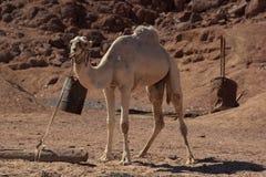 Camelos em Arábia, animais selvagens Fotografia de Stock