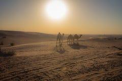 Camelos em Dubai foto de stock royalty free
