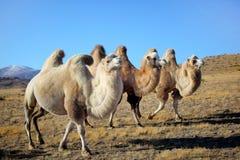 Camelos em montanhas Imagens de Stock
