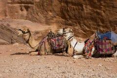 Camelos em repouso, PETRA Foto de Stock Royalty Free
