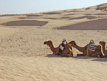 Camelos em Sahara Fotos de Stock Royalty Free