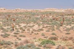 Camelos em Turquemenistão Fotografia de Stock