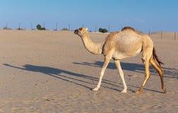 Camelos em uma exploração agrícola em Dubai Imagens de Stock