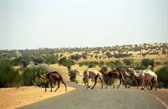 Camelos, Mauritânia Fotos de Stock