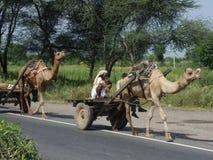 Camelos na Índia Imagem de Stock Royalty Free
