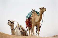 Camelos na natureza Imagens de Stock Royalty Free
