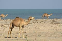 Camelos na praia Imagens de Stock Royalty Free