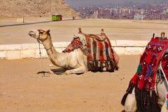 Camelos, navios do deserto - Giza, Egito Imagem de Stock Royalty Free