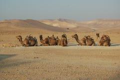 Camelos no deserto imagem de stock royalty free