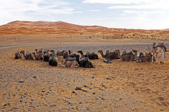 Camelos no deserto de Chebbi do ERG, Marrocos Fotografia de Stock