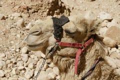 Camelos no deserto de Jordânia Foto de Stock