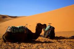 Camelos no deserto de Sahara Fotografia de Stock Royalty Free