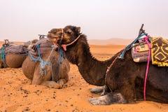 Camelos no deserto de Sahara Foto de Stock Royalty Free
