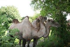 Camelos no jardim zoológico Foto de Stock Royalty Free