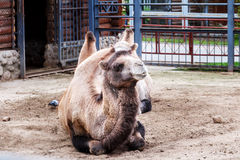 Camelos no jardim zoológico Fotos de Stock Royalty Free