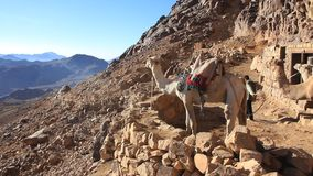 Camelos no monte Sinai (Moses Mountain) na peninsula do Sinai, Egito vídeos de arquivo